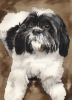 Another Shih-Tzu by RamonaQ