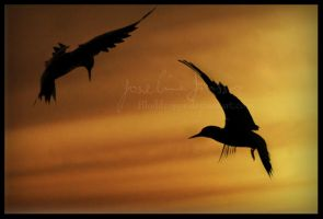 Silhouettes of birds. by Bloddroppe-nature