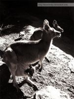 Kangaroo I by miss-becky