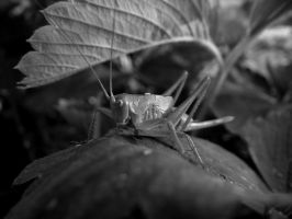 Grasshopper by Penetraliaa