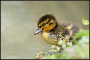 Fuzzy Duck III by nitsch
