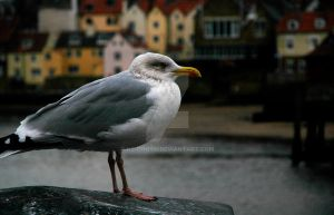 seagull by ks-photo
