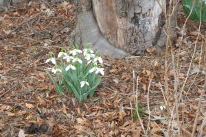Snowdrops 2 by ladybard96