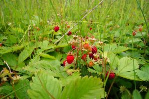 A little bit about summer. Field wild strawberry. by Cathie-Cat