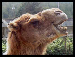 Camel by thetoddclan