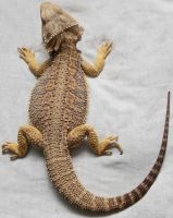 Bearded Dragon1 by NickiStock