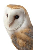 Barn owl on white by Purshue