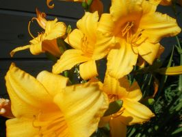 Sunkissed Flowers Of Gold by The--Enchantress