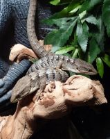 My beautiful alligator lizards by Meadowknight