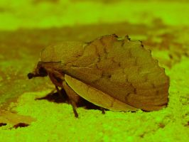 Lappet Moth at night by Faunamelitensis