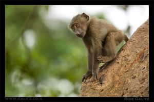 Baby Baboon by RoieG