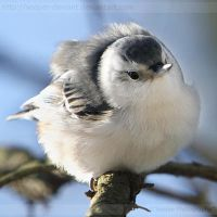 Puffy Nuthatch 7863 by Sooper-Deviant