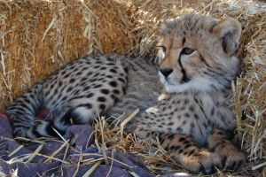 Cheetah Cub by Princesscookie