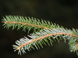 Pine Needles 01 by Axy-stock