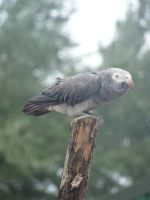 Timneh African Grey Parrot. by Lacrimosa-Angelus