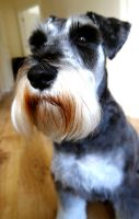 Bruce the Schnauzer by philk3r