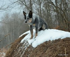 Just a cattle dog sitting on a round bale. by ThunderhillPaints