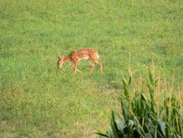 Fawn in the Corn by mrcbax