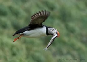 Puffin with Capelin III by FForns
