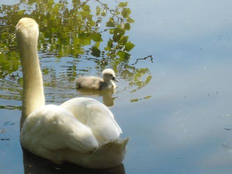 Baby Swans 5 by Dreamsparkle