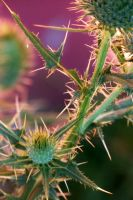 Thistle Flowers I by MadGardens