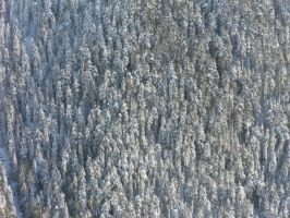 texture-pine tree by Jivka