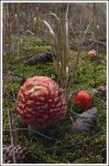 fly agaric 2 by Morendred