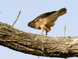 Red Tail Hawk 3 by Samela7