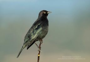 Brewer's Blackbird male by Nature-Photo-Master