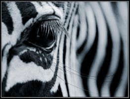 Zebra's Eye by IgorLaptev
