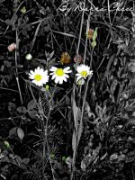 black and white. Daisies by DarraChese