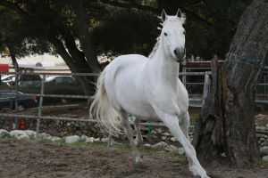 white horse stock 8 by Aestivall-Stock