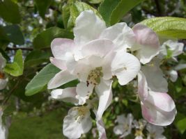 Apple blossom 1 by Mokyn