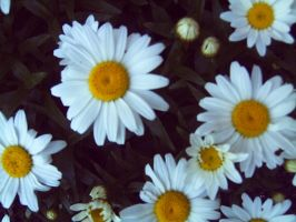 daisys by amyhatesyouaswell