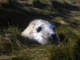 Curious Seal Pup by Shadow-and-Flame-86