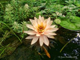 Beautiful Water Lily And Pond by jim88bro