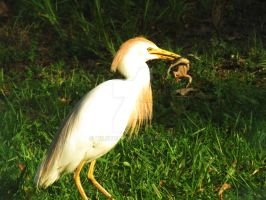 Cattle Egret eating Frog #2000 by Wileybill