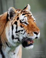 Siberian Tiger 2 by filemanager