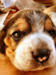 Beagle Baby by MyKFTHappiness