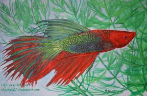 The betta fish - acrylic by Oksana007