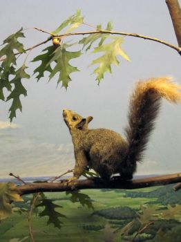 squirrel by Imm0rtal-St0ck