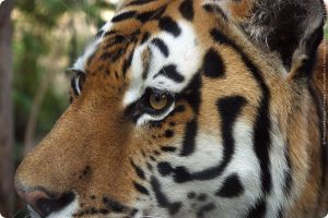 Eye of the tiger by anna-lumbricus