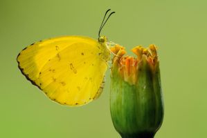 Three Spot Grass Yellow 160111 by inckurei