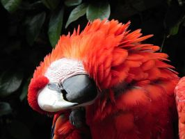 Scarlet Macaw Face Rub by RedMedKit