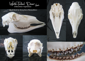 Skull Stock: Whitetail Doe by Krissyfawx