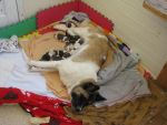 Sleeping mom nursing pups by Doomwing