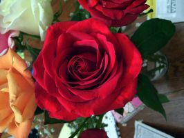 red rose 2 by turtledove-stock