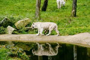 white tiger 1 by archaeopteryx-stocks