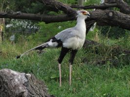 Secretary bird 10 by animalphotos