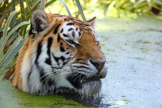 Amur Tiger Bathing by cycoze